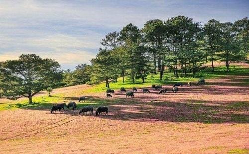 Khám phá đồi cỏ hồng Đà Lạt đẹp như tranh khiến ai cũng mê mẩn